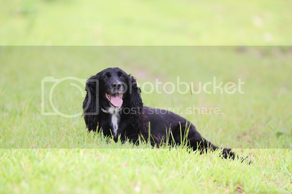 Cocker Spaniel in Thailand 